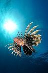 Lionfish swimming under the surface Red Sea Egypt  (Red lionfish)