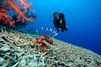 Scorpionfish and Diver above table Coral horned�Red Sea (Scorpionfish)
