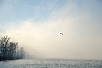 Fog and gulls in flight on Lake Bourget Savoie France (Seagull)