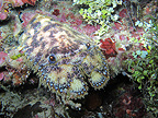 Slipper Lobster Bunaken Marine NP Sulawesi Indonesia�