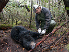Bear trapped to protect newborn Caribou Canada (Black bear )