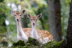 Female Fallow deer in the undergrowth France (Fallow Deer)