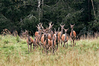 Herd of red deer in a clearing Latvia (Red deer)