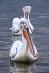 Dalmatian Pelicans swimming Lake Kerkini Greece (Dalmatian Pelican)