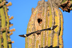 Gila Woodpecker whose nest is dug in a Cactus Mexico (Gila Woodpecker)