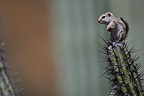 Harris's Antelope Squirrel on a cactus Mexico (Harris' Antelope Squirrel)