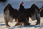 Turkey Vulture warming its wings in the morning, Mexico