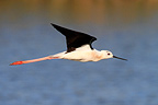 Stilt in flight RNP Camargue France (Black-winged stilt)