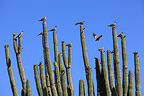 White winged dove on Organpipe cactus Mexico