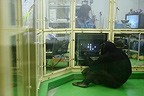Common Chimpanzees in a research laboratory for cognitive abitilies, in Tokyo University, Inuyama, Japan.