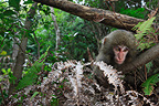 Japanese Macaque on Yakushima Island, Japan