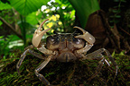 Crab in laurisyle Coast on the island of Yakushima Japan