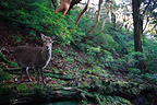 Sika Deer doe on the island of Yakushima, Japan