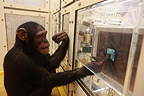 Research on the cognitive abilities of chimpanzees , Tokyo University, Inuyama, Japan.