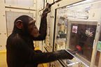 Research on the cognitive abilities of chimpanzees, Tokyo University, Inuyama, Japan.
