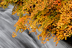 Cascade and maple in autumn colors Japan