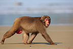 Japanese Macaque on the beach, Kojima island, Japan