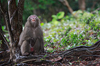Japanese Macaque, Kojima island, Japan