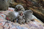 Japanese Macaques on the beach, Kojima island, Japan