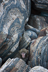 Japanese macaque in the rocks at the shore, Yakushima island, Japan.