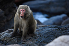 Japanese macaque grimacing as a challenge, Yakushima island, Japan.