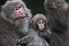 Grooming between Japanese Macaques (nicknamed