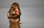 Japanese macaque eating a potato washed in the Pacific Ocean, Kojima island - cultural behavior that is passed on to subsequent generations.