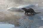 Young Eurasian Otter playing and fish feeding in Finland (European otter)