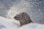Young Eurasian Otter in snow in Finland (European otter)