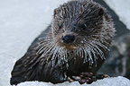 Young Eurasian Otter fishing in a frozen river Finland (European otter)