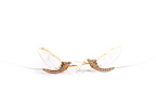 Mayflies face to face in studio on white background