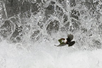 Dipper in flight carrying moss for nest�before a fall (White-throated Dipper)