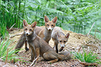 Group of cubs Red foxes in summer close to the den in summer (Red fox)