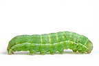 Moth caterpillars in the studio on white background