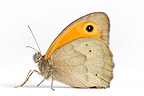 Meadow brown in studio on white background