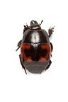 Hister beetle in studio on white background