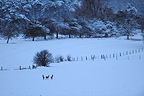 Group of Roe Deer in winter dawn France (Roe deer)