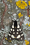 Cream-spot tiger moth on bark of a tree spring Vaucluse