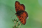 Male Spotted fritillary on a flower at spring France