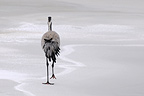 Crane Lake on the ice in winter Der France (Common Crane)