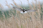 Whiskered Tern in flight over Reeds France (Whiskered Tern)