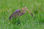 Purple Heron with captured meadow voles in France (Purple Heron)