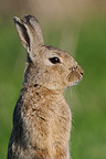 European Rabbit in alarm in the Allier France (European rabbit)