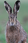 Portrait of an European Hare Vosges France (European Hare )