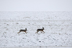 European Hare running in a snowy field Vosges France (European Hare )