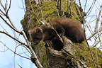 European Pine Marten entering his nest Vosges France (European pine marten )