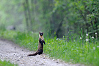 European Pine Marten on a path in Vosges France (European pine marten )