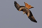 Red Kite diving flight over prey France (Red Kite)