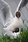 Mating of Black-headed Gull Brenne NRP France (Black-headed Gull)