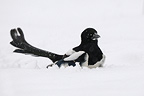 Black-billed Magpie in a snowy winter Vosges France (Black-billed Magpie)